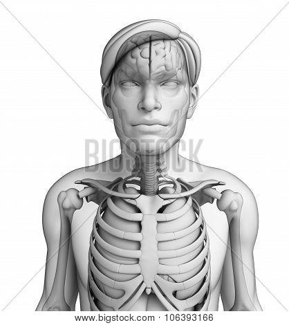 Human Body Respiratory System