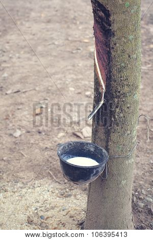 Milky latex extracted from para rubber tree