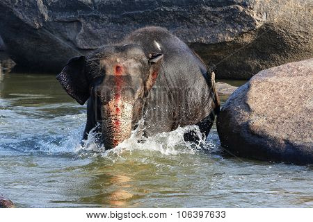 Beautiful Indian Elephant Is Standing In The River.