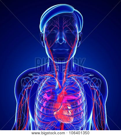 Male Heart Circulatory System