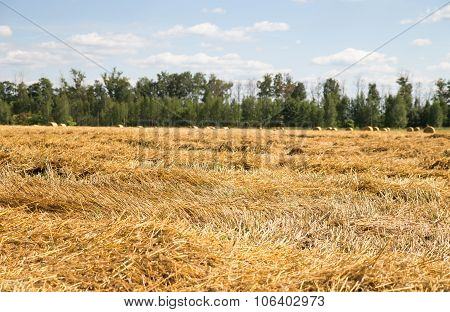 Mown wheat and straw