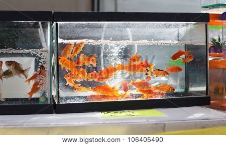 Goldenfises In Aquarium