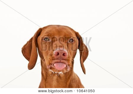 Vizsla Dog Sticking Out Its Tongue