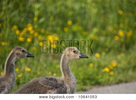 Two Canada Goslings On A Path