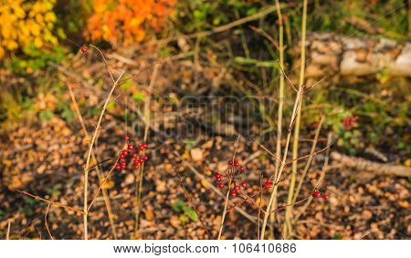 Clusters Of Red Berries On A Bush In The Woods