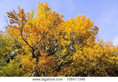 Autumn treetop