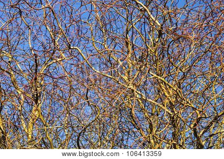 Texture Of The Willow Branches
