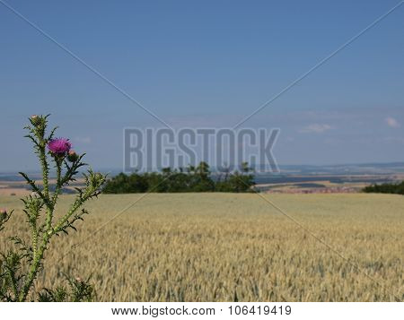 Thistle in a wheat field