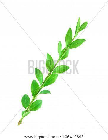 Boxwood Branch