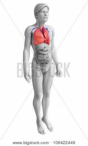 Male Lungs Anatomy
