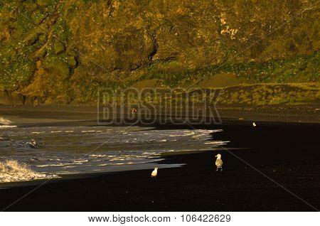 Birds and phtographers at black beach near Vik