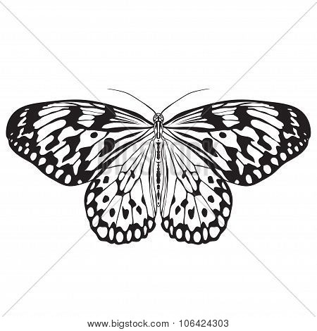Butterfly Idea Leuconoe. Sketch Of  Butterfly.  Butterfly Isolated On White Background.  Butterfly D