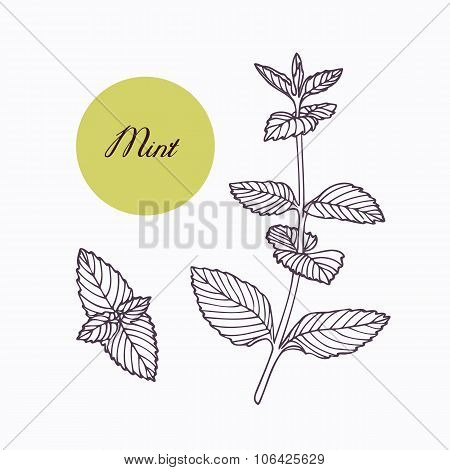 Hand drawn mint branch with leaves isolated on white