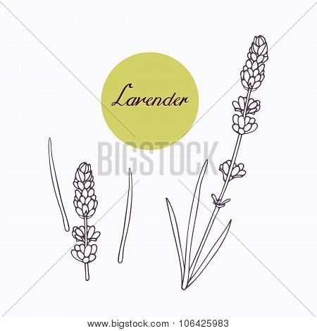 Hand drawn lavender branch with leaves isolated on white