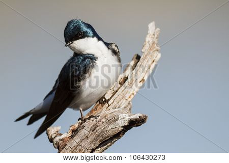 Tree Swallow Perched And Staring