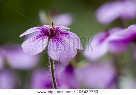 Macro Of A Pink Flower With Hairy Peduncle