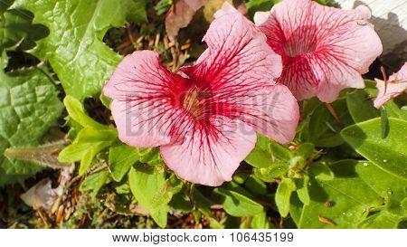 Pink Petunia. Pink Flower.