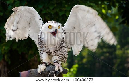 Snowy Owl Sitting On Falconry Glove With Wings Spread Out On Dark Background