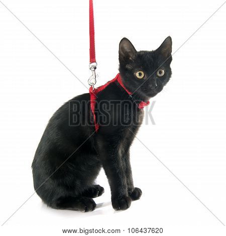 Black Kitten And Harness