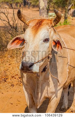 Cow close up, Bagan, Mandalay