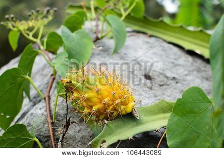 Yellow Wild Dragon Fruit Still Covered With Spiked With Black Ant On It