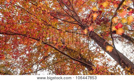 Sycamore with Fall or Autumn Tree Foliage.