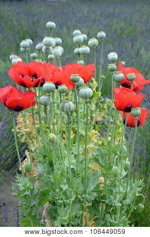 Red Poppy Flowers In Spring