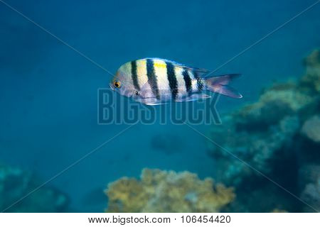 Fish Indo-pacific Sergeant Is Under Water