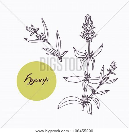 Hand drawn hyssop branch with leaves isolated on white