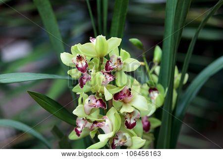 Tropical green Cymbidium orchid