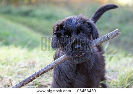 The Puppy Of Giant Black Schnauzer Dog