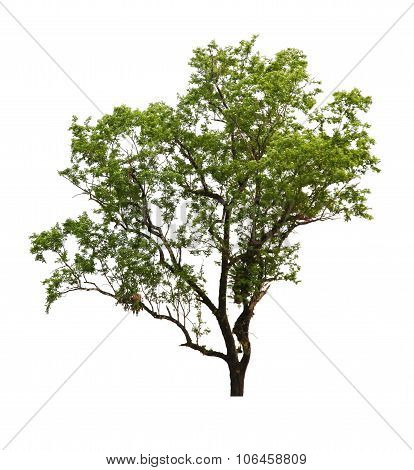 Green Tree Isolated On White Background