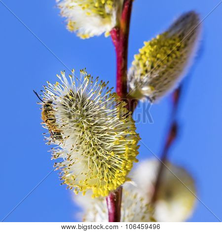 Spring flowering willow