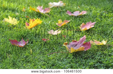 colorful maple autumn leaves on green grass