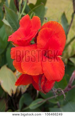 Red Canna Flower Plants