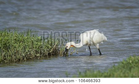 Spoonbill in Bundala National Park, Sri Lanka