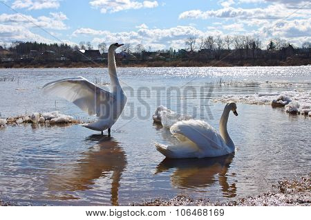 Two Swans In Spring