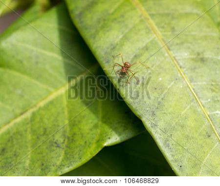 Leaf Cutter Ant On Mango Leaves Asia Looking Straight In To Camera.
