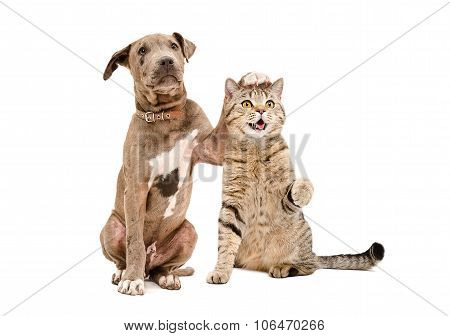 Pit bull puppy and a cat Scottish Straight amicably sitting together