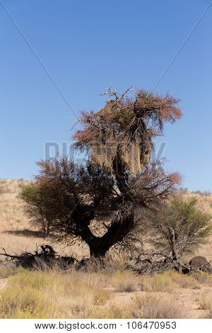 African Sociable Weaver Big Nest On Tree
