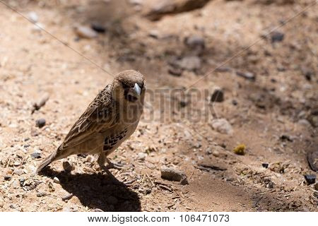 Sociable Weaver Bird At Kgalagadi