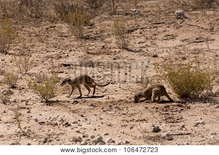 Two Meerkat Or Suricate