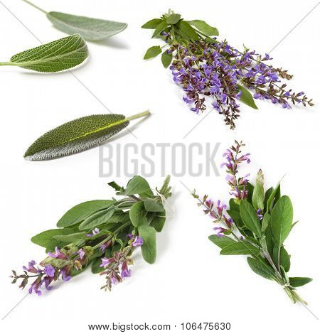 Sage collection, isolated on white.  Fresh herbs, leaves and sprigs, with purple flowers.
