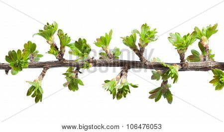 Macro Of Twig With Fresh Spring Leaves