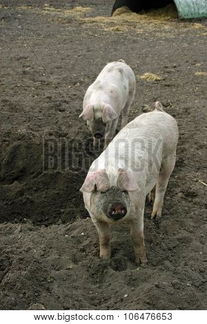 Muddy pigs in a field