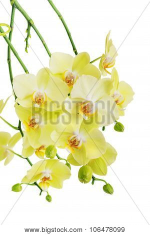 Yellow And Green Orchid Flowers Isolated On White