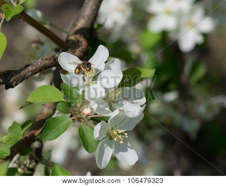 Bee Melliferous On The Flower Of Apple Tree