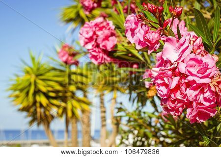 Bright Pink Flowers On A Background Of Palm Trees, Costa Adeje, Tenerife