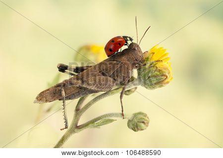 ladybug sitting on a grasshopper on a light green background