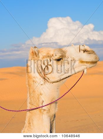Head of white camel